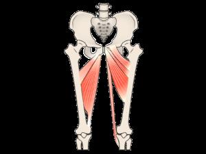 太くなりにくい足の筋肉:内転筋